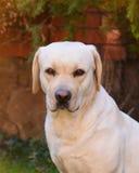 Ein junges gelbes Labrador, das auf einem Rasen sitzt und weg schaut Schöne helle goldene Labrador-Nahaufnahme, die glücklich auf Stockbild