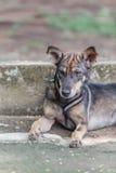 Ein junges Hundelegen Stockbilder