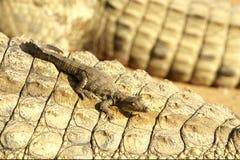 Ein junges Krokodil Lizenzfreie Stockbilder