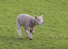 Ein junges Lamm Stockfotos