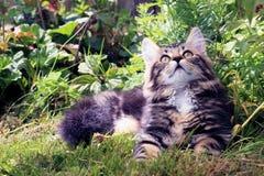 Ein junges norwegisches Kätzchen des Bonbons recht lizenzfreie stockbilder