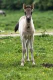 Ein junges Pferd Lizenzfreies Stockbild