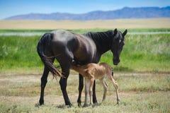 Ein junges Pferd mit einem Fohlen Stockfotografie