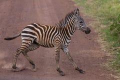 Ein junges plötzlich stoppendes Zebra Lizenzfreie Stockbilder