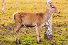 Ein junges Rotwild, das nicht noch Hörner gewachsen hat, geht durch die Weide und stoppte an der Birke, die der Gefahr glaubt stockfotos