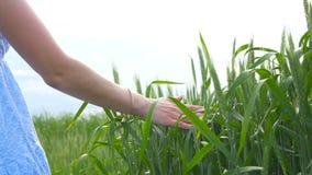 Ein junges schönes Mädchen geht das grüne Weizenfeld und führt sie, überreichen die Ährchen stock video