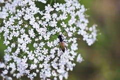 Ein Käfer auf einer Blume Stockfotografie