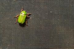 Ein Käfer des Leuchtenden Grüns auf einem Schirm Lizenzfreie Stockbilder