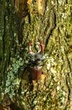 Ein Käfer ist auf einem Baum Käfer mit Hörnern auf dem Stamm eines Baums Lizenzfreie Stockbilder