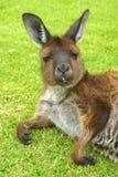 Ein Känguru, der auf Gras sich entspannt australien stockfotos