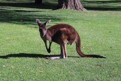 Ein Känguru in einem Nationalpark lizenzfreies stockbild