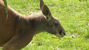 Ein Känguru und ein grasartiges Feld stock video