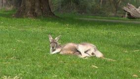 Ein Känguru und ein grasartiges Feld stock footage