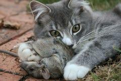 Ein Kätzchen, das seine erste Tötung hält Lizenzfreies Stockbild