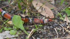 Ein König Snake Looks für ein Versteck Stockbilder