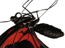 Ein Körper des Scharlachrots mormonischer Schmetterling, Papilio-rumanzovia, wird auf Weiß lokalisiert stockbilder