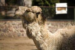 Ein kühles Kamel Lizenzfreie Stockbilder