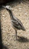 Ein Küken des großen Brachvogels lizenzfreie stockfotografie