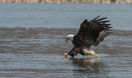 Ein kahler Adler Stockbild