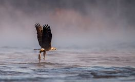 Ein kahler Adler Stockbilder