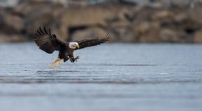Ein kahler Adler Lizenzfreie Stockbilder