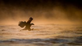 Ein kahler Adler Lizenzfreie Stockfotos