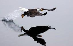 Ein kahler Adler fliegt weg nach dem Fang. Stockfoto