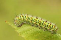 Ein Kaisermotte Caterpillar-Saturnia Pavonia, der auf ein Brombeerstrauchblatt einzieht Lizenzfreies Stockbild