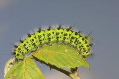 Ein Kaisermotte Caterpillar-Saturnia Pavonia hockte auf einem Blatt Lizenzfreie Stockfotografie