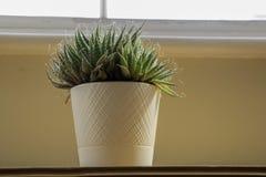 Ein Kaktus in einem weißen Topf am Fenster lizenzfreies stockfoto