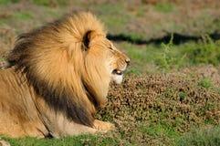 Ein kalahari-Löwe, Panthera Löwe, im Addo Elefant-Staatsangehörig-Nennwert Lizenzfreies Stockbild