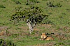 Ein kalahari-Löwe, Panthera Löwe, im Addo Elefant-Staatsangehörig-Nennwert Lizenzfreie Stockfotos