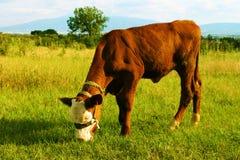 Ein Kalb, das Gras isst Stockfotos