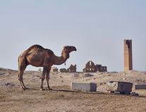 Ein Kamel und ältesten Universitäts-remainings in Harran stockbilder