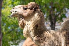 Ein Kamelgesicht mit grünem Hintergrund stockfotos