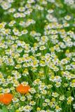 Ein Kamillenfeld und einige Ringelblumenblumen Stockfotografie