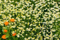 Ein Kamillenfeld und einige Ringelblumenblumen Lizenzfreies Stockbild