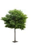 Ein Kampferbaum Lizenzfreies Stockfoto