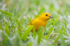 Ein Kanarienvogel im Gras lizenzfreie stockbilder