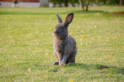 Ein Kaninchen Stockfotografie