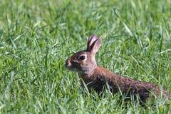 Ein Kaninchen im Gras Lizenzfreies Stockbild