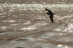 Ein Kap-Verde Sturmtaucher oder ein Cagharra, Calonectris-edwardsii Lizenzfreies Stockfoto