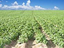 Ein Kartoffelfeld mit Himmel und Wolke Lizenzfreie Stockfotos