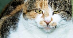 Ein Katzenporträt - Makro Lizenzfreies Stockbild