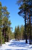 Ein Kieferwald Stockfotografie