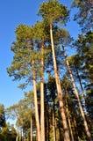 Ein Kieferwald Stockfoto