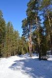 Ein Kieferwald Lizenzfreie Stockbilder