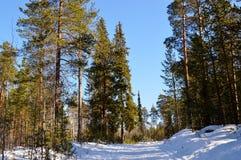 Ein Kieferwald Lizenzfreie Stockfotos