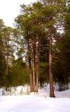 Ein Kieferwald Lizenzfreies Stockbild