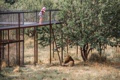 Ein Kind, das mit einem Löwe spielt stockfotos